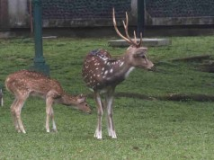 Rusa Totol di Istana Bogor