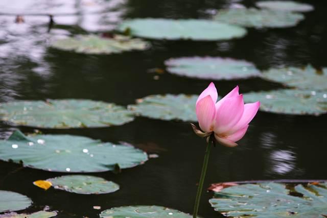 Seroja atau lotus di kolam-danau gunting kebun raya bogor