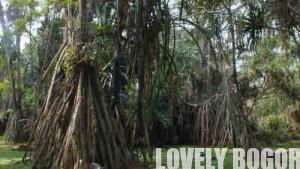 Koleksi Pandan Kebun Raya Bogor (10)