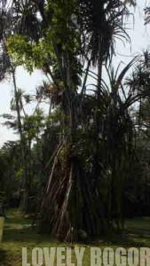 Koleksi Pandan Kebun Raya Bogor