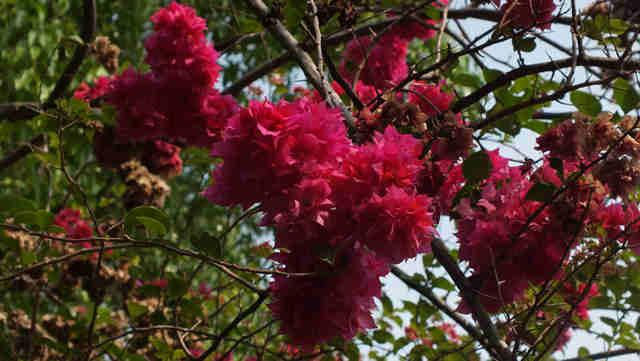 Bougenville – Bunga Kertas Nan Mempesona