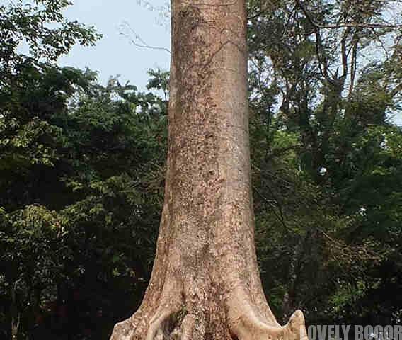 Pohon sialang atau Koompassia Excelsa