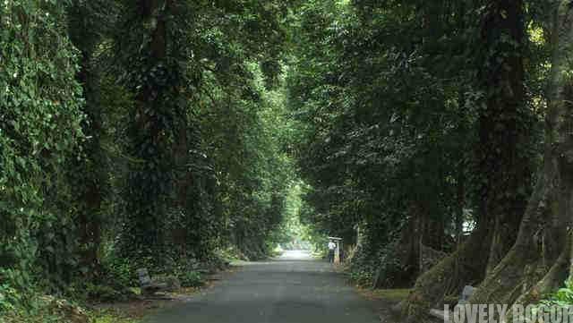 Pohon Kenari Di Bogor