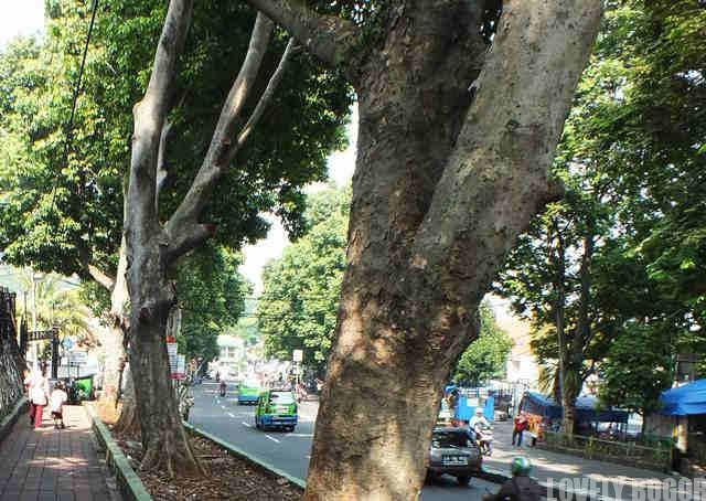 Pohon Kenari Bogor