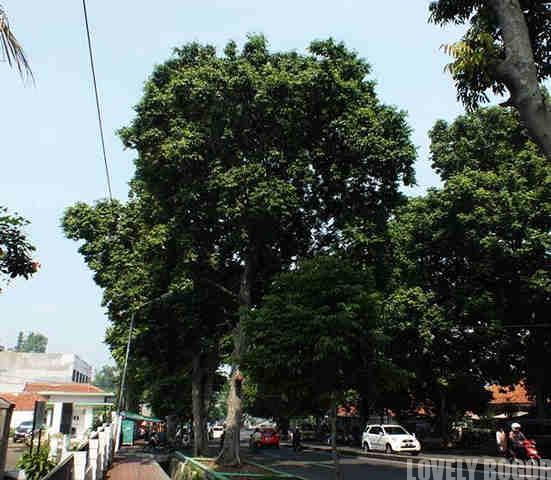 Pohon Kenari Di Bogor – Ditebang Sayang