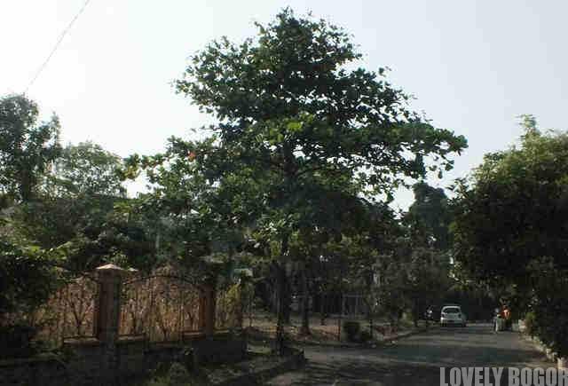 Pohon Ketapang Dewasa