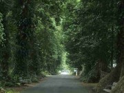 The Canary Avenue in Bogor BOtanical Gardens