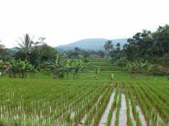 The Rice Field On Salak Mountain Bogor