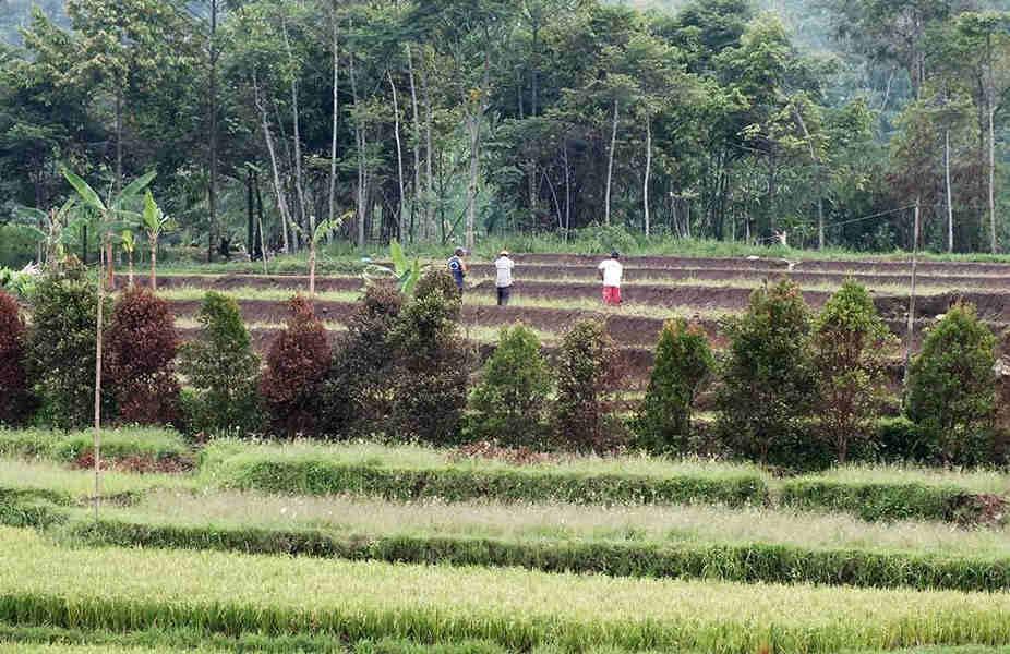 Farmer On The Rice Field Bogor