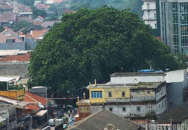 Pohon Beringin Tua Di Alun-alun Empang Bogor