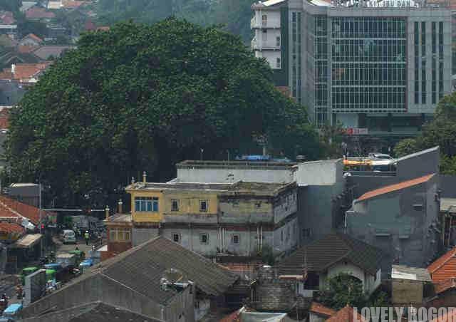 Pohon Beringin Tua Di Alun Alun Empang Bogor