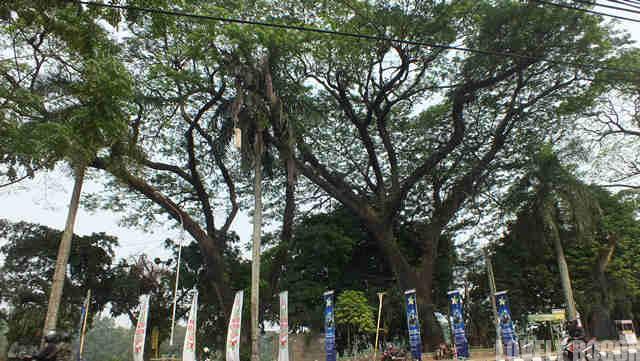Pohon Tua Raksasa Di Jalan Sudirman Bogor