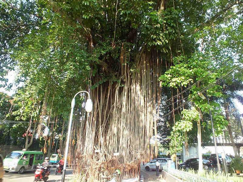 Pohon Beringin Angker Bogor