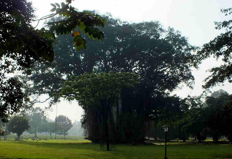 Pohon Beringin di Istana Bogor