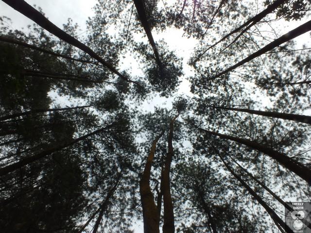 Hutan Pinus Curug Cilember