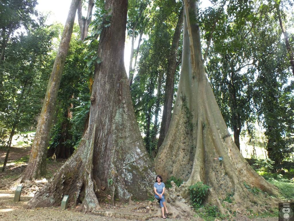 Pohon Jodoh Kebun Raya Bogor