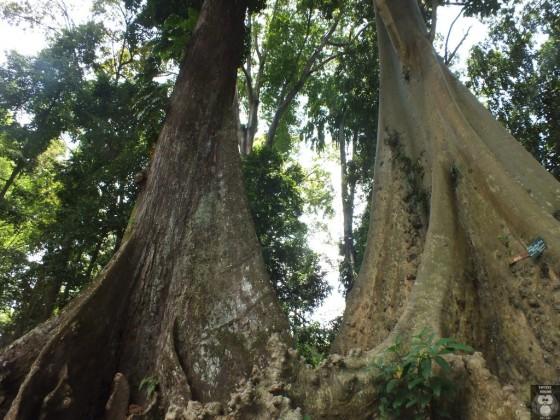 Pohon Jodoh Kebun Raya Bogor 030