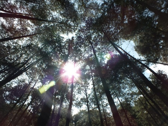 Hutan Pinus Di Curug Nangka