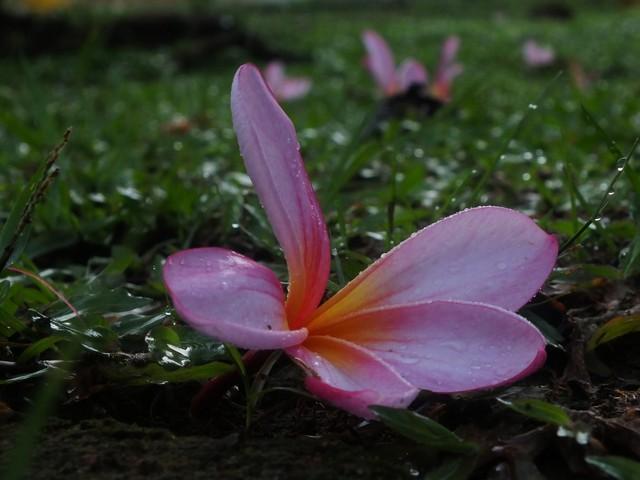 Bunga Kamboja Yang Bukan Dari Kamboja : Tidak Menyeramkan!