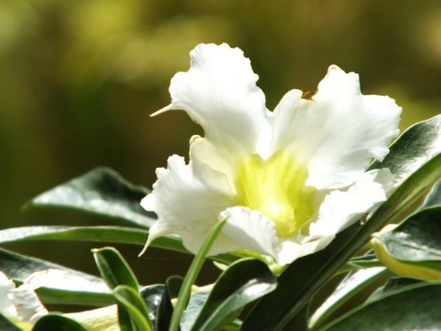 Bunga Kamboja Jepang Adenium