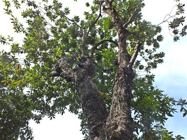 Pohon Bintaro : Tikus dan Manusia Bisa KO!