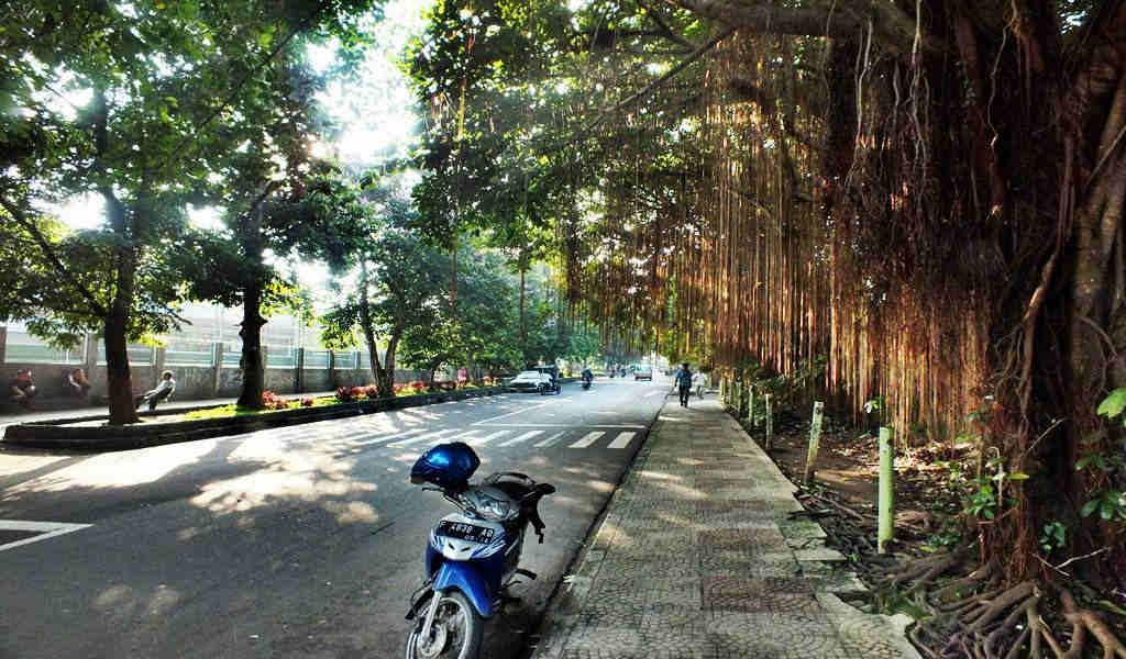 Pohon Beringin di Jalan Paledang 003
