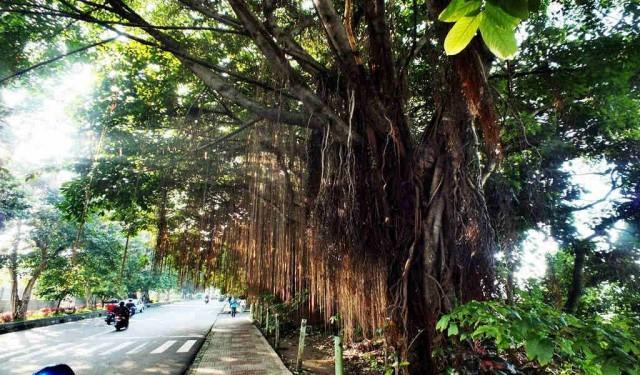 Pohon Beringin di Jalan Paledang