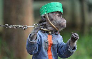 the monkey dance in Bogor