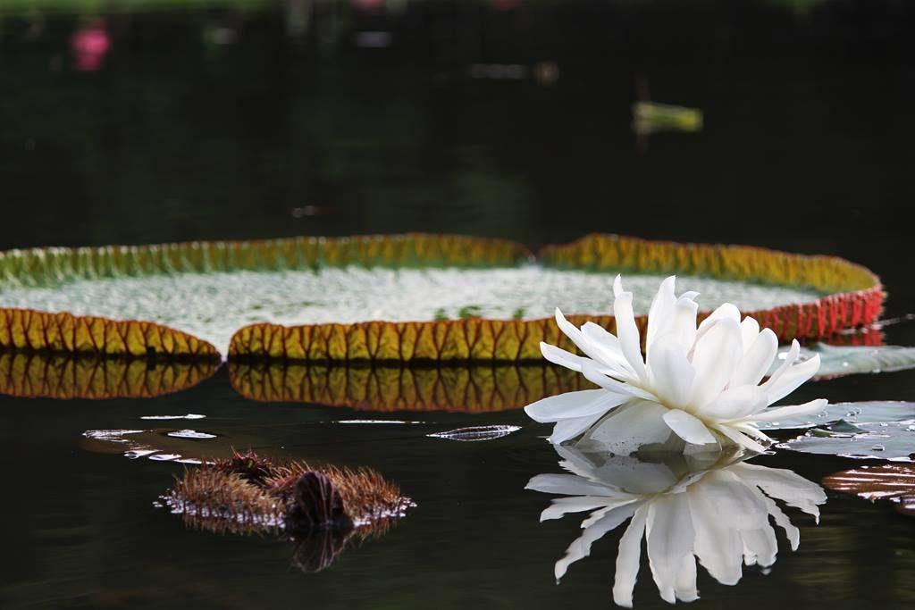 Foto Teratai Putih di Danau Gunting