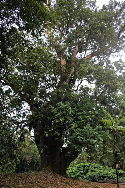 pohon tertua di kebun raya bogor - pohon leci