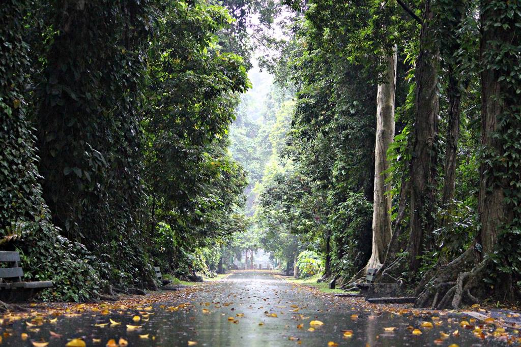 stunning view of canary avenue in Bogor Botanical gardens