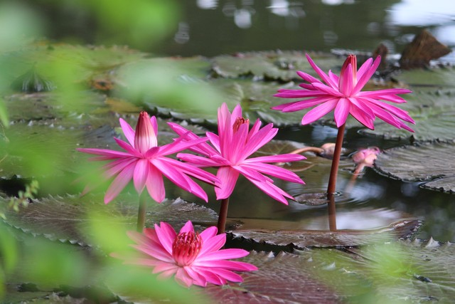 Si Cantik Nymphaea Rubra (Pubescens) atau si Teratai Pink