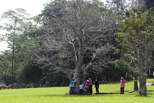 Pohon tak berdaun di Kebun Raya Bogor