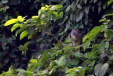 Melihat KOAK (KOWAK) MALAM ABU di Kebun Raya Bogor