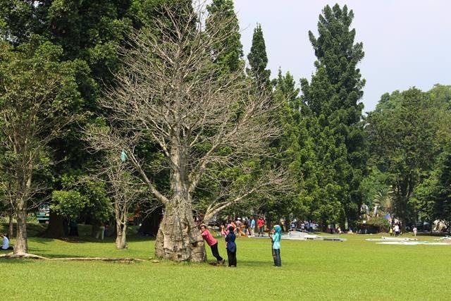 tree with no leaves in bogor botanical garden