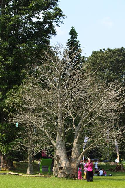 tree without leaves in bogor botanical garden 2