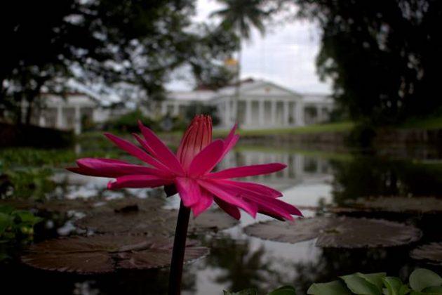 Bunga Teratai dan Istana Bogor