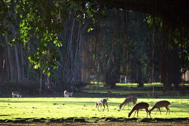 rusa totol sedang makan di bawah pohon b
