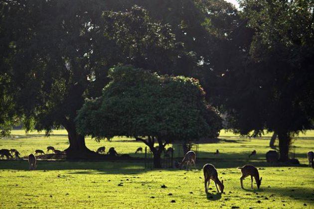 rusa totol sedang makan di bawah pohon c