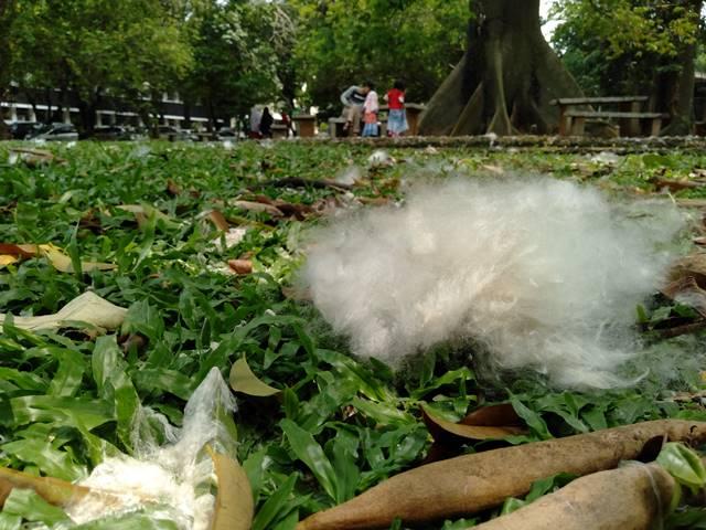 Bunga Kapuk di Taman Koleksi IPB Baranangsiang C