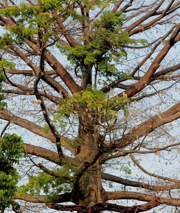 Bukan Cuma Di IPB, Pohon Kapuk Randu Juga Ada Di Lapangan Sempur Loh!