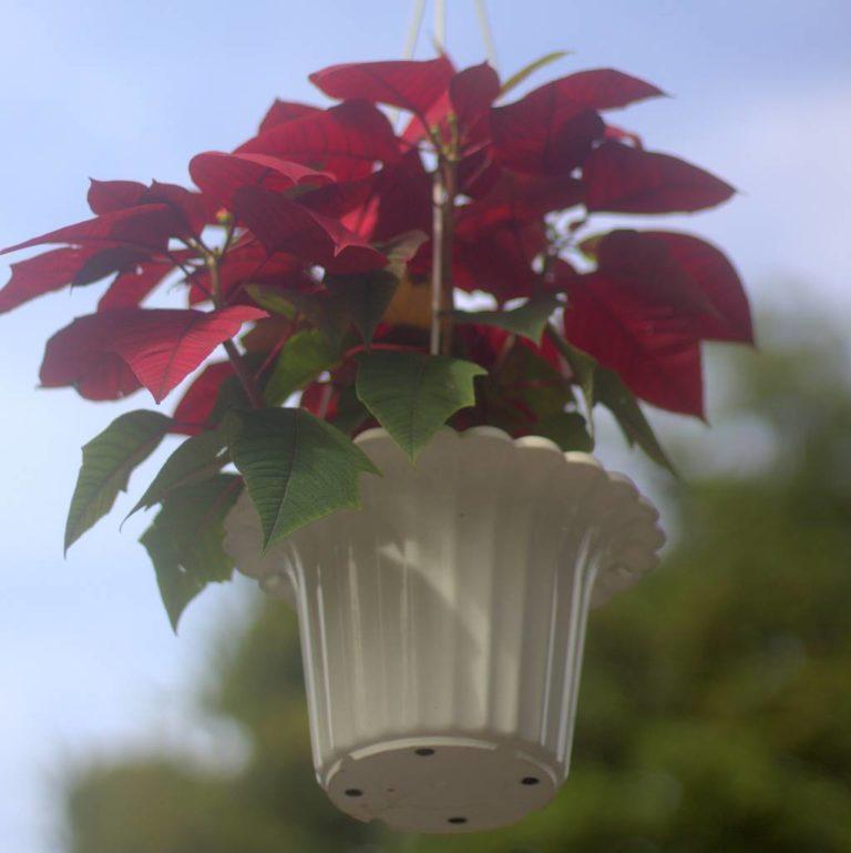 Kastuba / Poinsettia Gantung Bikin Semarak Trotoar Seputar Istana dan Kebun Raya Bogor