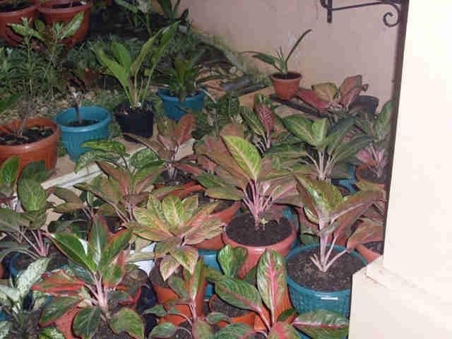 Bisnis Tanaman Hias Di Bogor Sedang Booming Sampai Kapan