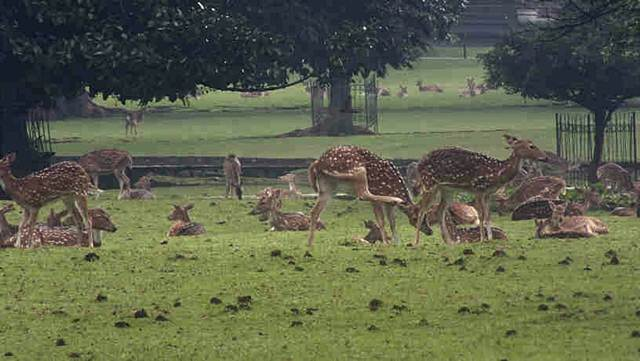The view of deer in front yard of Bogor Palace